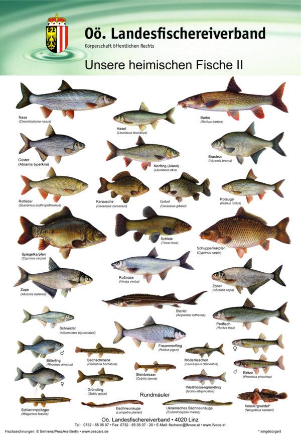 OÖ Landesfischereiverband - unsere heimischen Fische