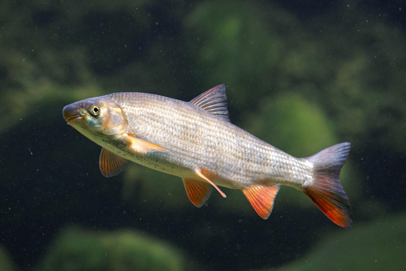 Fisch des jahres 2015 nase landesfischereiverband o for Fisch bilder