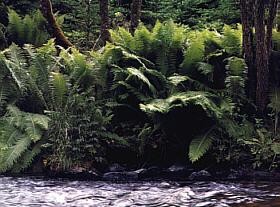 Übermannshohe Farne am Waldaistufer