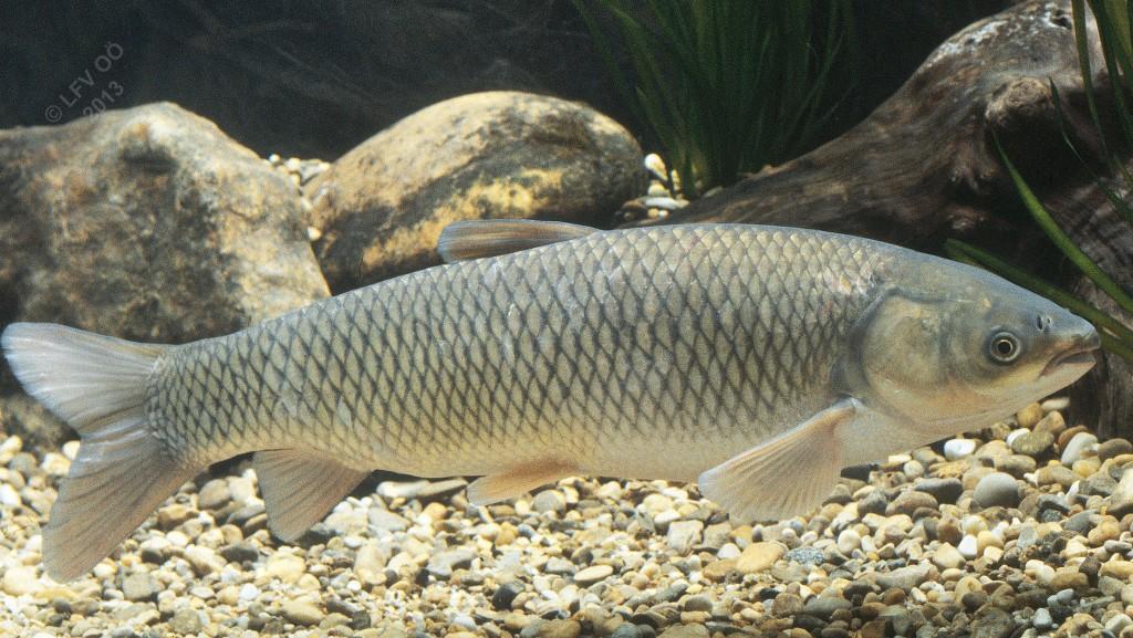 Amur for White amur fish