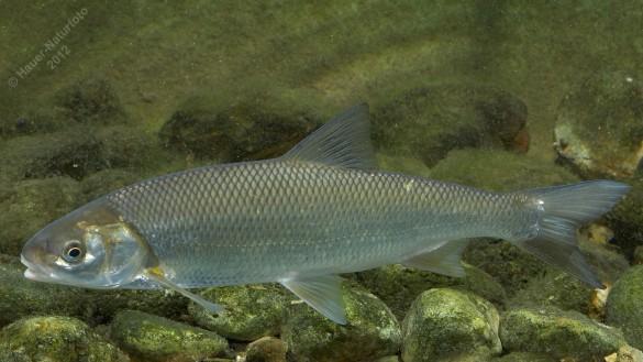 Bild Perlfisch